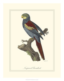 Nonpareil Parrakeet Giclee Print by George Edwards