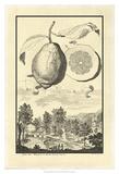 Crackled Genova Lemon Print by Johann Christof Volckamer