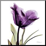 Royal Purple Parrot Tulip Umocowany wydruk autor Albert Koetsier