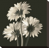 Gerber Daisies II Stretched Canvas Print by Michael Harrison