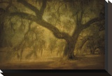 Avery Island Oaks, Study 10 Stretched Canvas Print by William Guion