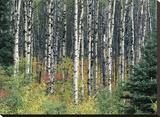 Autumn Birch Stretched Canvas Print by Derek Jecxz