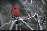 Rouge cardinal Reproduction transférée sur toile par Art Wolfe