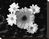 Gerber Daisies Stretched Canvas Print by Harold Silverman