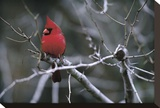 Cardinal Stretched Canvas Print by Art Wolfe