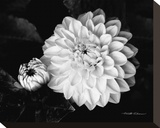 Chrysanthemum Stretched Canvas Print by Harold Silverman