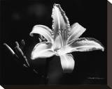 Day Lily Stretched Canvas Print by Harold Silverman