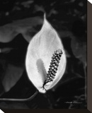 Peace Lily Stretched Canvas Print by Harold Silverman