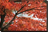 Acer I, Red Maple Stretched Canvas Print by Chris Farrow