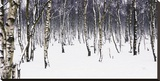 Birches Stretched Canvas Print by Chris Farrow