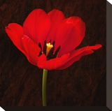 Red Tulip I Stretched Canvas Print by Christine Zalewski