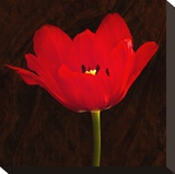 Red Tulip II Stretched Canvas Print by Christine Zalewski