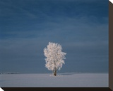 Hoarfrost Covered Cottonwood Stretched Canvas Print by Mike Grandmaison