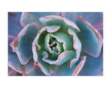 Echeveria Afterglow Prints by Michael Hudson
