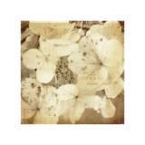 Hydrangeas 1 Giclee Print by Dawne Polis