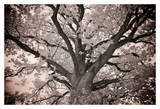 Magnificent Oak Giclee Print by Michael Hudson