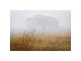 Tree in Fog Giclee Print by David Winston