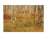 Autumn Aspens Giclee Print by Michael Hudson