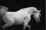 Arabian Stallion Stretched Canvas Print by Melanie Snowhite