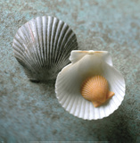 Scallops Poster by Glen & Gayle Wans