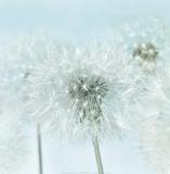 Dandelion I Posters af Kevin Twomey