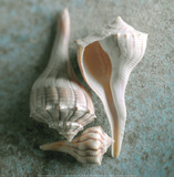 Whelks Print by Glen &amp; Gayle Wans