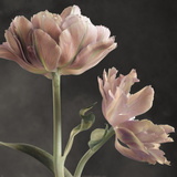 Tulip II Posters by Sondra Wampler