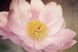 Peony in the Park Prints by Dawn LeBlanc