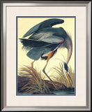 Great Blue Heron Framed Giclee Print by John James Audubon