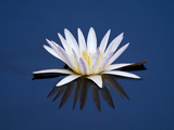 Water Lilies, Botswana Photographic Print by Frans Lanting