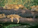 Lions Sleeping, Panthera Leo, Masai Mara Reserve, Kenya Fotografisk tryk af Frans Lanting