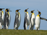 King Penguins Courting, Aptenodytes Patagonicus, Falkland Islands Photographic Print by Frans Lanting