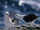 Black-Browed Albatrosses Courting, Thalassarche Melanophrys, Falkland Islands Photographic Print by Frans Lanting