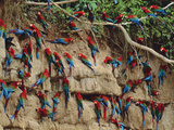 Red-And-Green Macaws at Clay Lick, Ara Chloroptera, Manu National Park, Peru Stampa fotografica di Frans Lanting