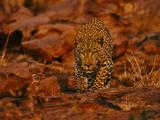 Leopard Male Stalking, Panthera Pardus, Namibia Fotografisk tryk af Frans Lanting