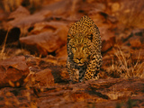 Leopard Male Stalking, Panthera Pardus, Namibia Photographic Print by Frans Lanting