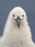 Black-Browed Albatross Chick, Thalassarche Melanophrys, Campbell Island, New Zealand Photographic Print by Frans Lanting