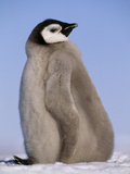 Emperor Penguin Chick, Aptenodytes Forsteri, Weddell Sea, Antarctica Photographic Print by Frans Lanting