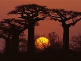 Baobabs in Winter, Adansonia Grandidieri, Western Madagascar Fotografisk tryk af Frans Lanting