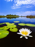 Day-Blooming Water Lily, Okavango Delta, Botswana Photographic Print by Frans Lanting