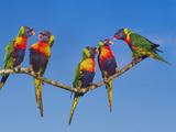 Rainbow Lorikeets, Trichoglossus Haematodus, Southeast Australia Stampa fotografica di Frans Lanting