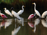 Great Egrets, Ardea Alba, Wood Storks, Mycteria Americana, and Roseate Spoonbill, Pantanal, Brazil Photographic Print by Frans Lanting