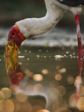 Yellow Billed Stork Foraging, Mycteria Ibis, Luangwa Valley, Zambia Photographic Print by Frans Lanting