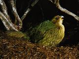 Kakapo Calling, Strigops Habroptila, Codfish Island, New Zealand Photographic Print by Frans Lanting