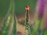 Rufous Hummingbird, Selaphorus Rufus, on Flower Stalk, Monterey Bay, California Photographic Print by Frans Lanting