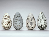 Common Murre Eggs, Uria Aalge, Western Foundation of Vertebrate Zoology Photographic Print by Frans Lanting