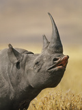 Black Rhinoceros, Diceros Bicornis, Ngorongoro Conservation Area, Tanzania Photographic Print by Frans Lanting