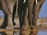 African Elephants, Loxodonta Africana, and Impala, Aepyceros Melampus, Chobe Nat'l Park, Botswana Photographic Print by Frans Lanting