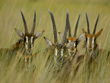 Sable Antelopes, Hippotragus Niger, Okavango Delta, Botswana Photographic Print by Frans Lanting