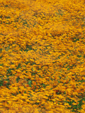 Flowering Daisies, Ursunia Cakilefolia, Namaqualand National Park, South Africa Photographic Print by Frans Lanting